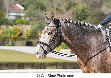 konkurrens, lusitano, ung, stående, häst, dressyr, ansikte