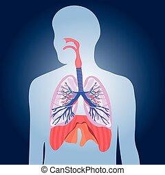 kropp, andnings, lungan, system, illustration, vektor, mänsklig