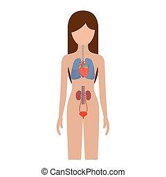 kropp, andnings, silhuett, renal, färgrik, person, kvinnlig, system, mänsklig