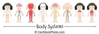 kropp, flicka, system, mänsklig