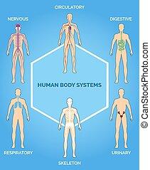 kropp, mänsklig, vektor, system, illustration