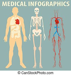 kropp, medicinsk, infographic, mänsklig