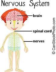 kropp, nervös, mänsklig, system