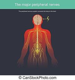 kropp, nervös, periferisk, system, förbinder, hjärna