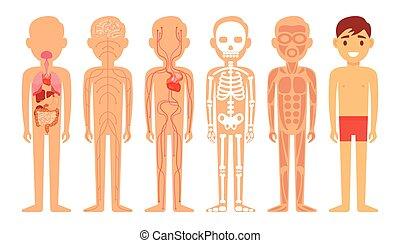 kropp, olik, illustration, diagram, system, mänsklig