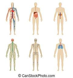 kropp, sätta, vitalitet, system, mänsklig, organs