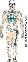kropp, vektor, illustration, mänsklig, system