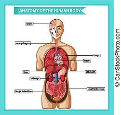 kropp, vetenskaplig, läkar illustration, anatomi, mänsklig