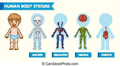 kropp, vetenskaplig, läkar illustration, system, mänsklig, barn