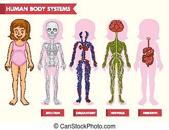 kropp, vetenskaplig, läkar illustration, system, mänsklig