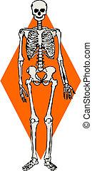 mänsklig skeleton, vektor