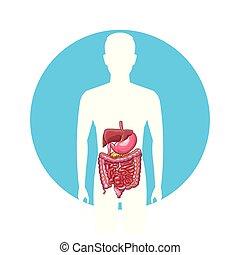 man, digestiv system
