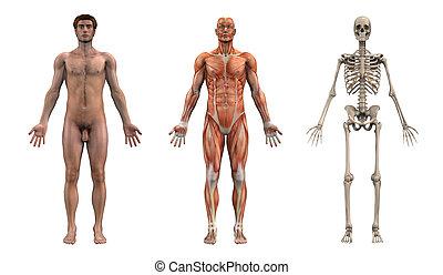 manlig, anatomisk, overlays, -, vuxen