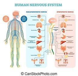 medicinsk, vektor, mänsklig, system, parasympathetic, inre, alla, nervös, nerver, organs., sammanhängande, illustration, full av medkänsla, diagram