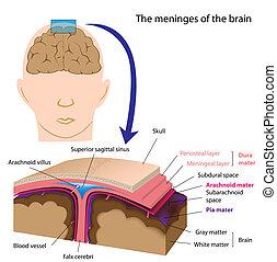 meninges, hjärna, eps8