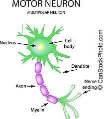motor, isolerat, neuron., infographics., vektor, illustration, bakgrund, struktur