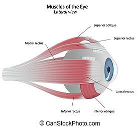 musker, ögon, eps8