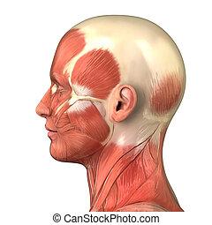 muskulös, huvud, system, synhåll, lateral, rättighet, anatomi