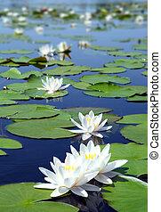 näckros, sommar, blomningen, insjö