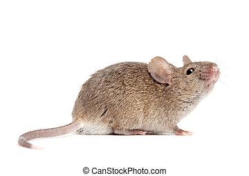nära, vit, mus, uppe, isolerat