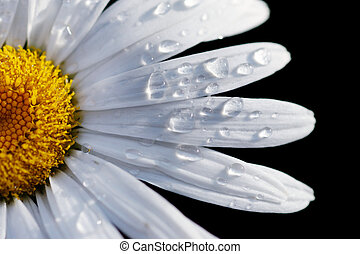 närbild, blomma, dof, makro, ytlig, isolerat, fokusera, vatten, drops., tusensköna, black.