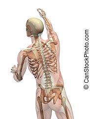 nå, vändning, semi-transparent, skelett, -, musker
