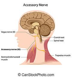 nerv, eps8, tillbehör