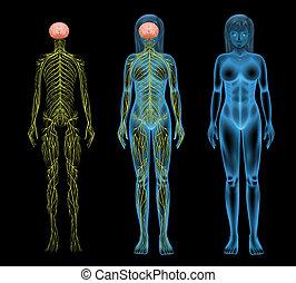 nerv systemet, kvinnlig