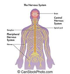 nerv systemet