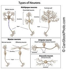 neurons, slagen