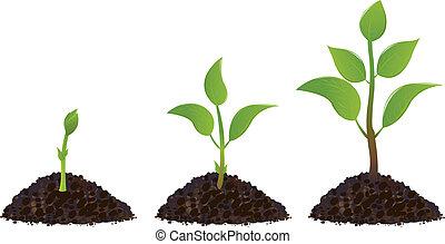 planterar, grön, ung