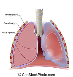 pleural, hålighet, lunga, lungsäck