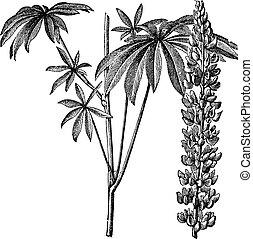 polyphyllus, gravyr, årgång, eller, lupine, large-leaved, lupinus