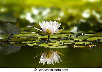 pond., waterlily, natur, vit