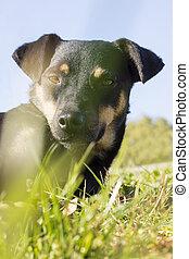 ras, hund, blanda, kamera, svart, artistisk, främre del, stående, gräs