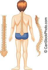rygg, anatomi, vit, mänsklig, bakgrund