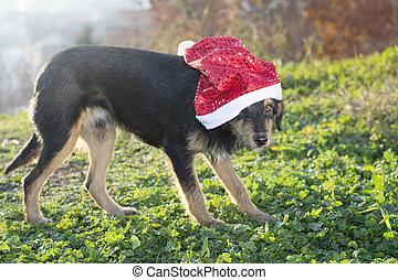 söt, claus, ras, hund, blanda, jultomten hatt