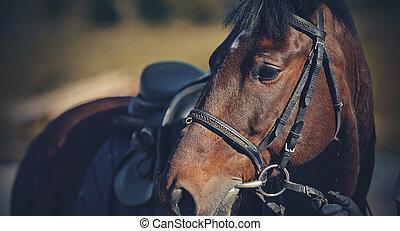 sadla, häst, prålig, sport., stående, bridle., ryttare