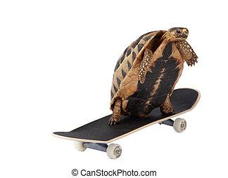 sköldpadda, fasta