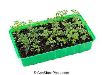 tomat, groning, bricka, plantor