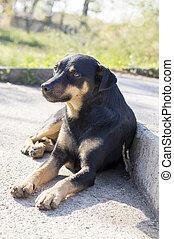 trappa, ras, hund, blanda, svart, lögnaktig