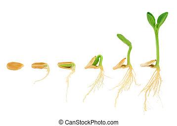 utveckling, begrepp, sekvens, isolerat, växt, växande, pumpa