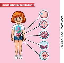 utveckling, vetenskaplig, läkar illustration, mänsklig, foster-