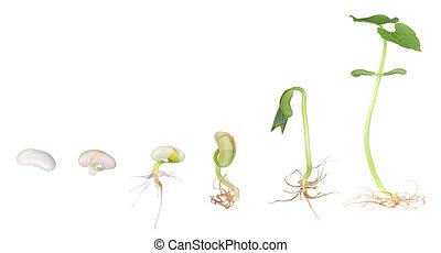 växande, böna, växt, isolerat