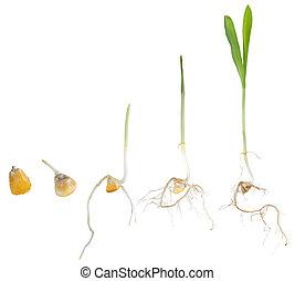växande, liktorn, växt