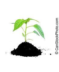 växande, smutsa, växt, grön