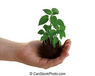 växt, hand