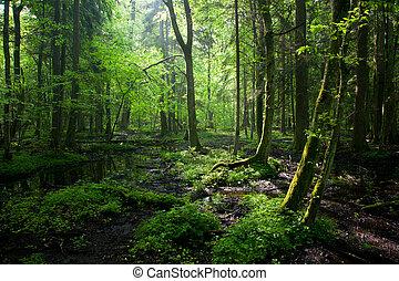 vår, lövfällande, stå, våt, bialowieza, soluppgång, skog