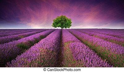 vacker, sommar, kontrastera, avbild, träd, lavenderfält, färger, solnedgång, landskap, horisont, singel