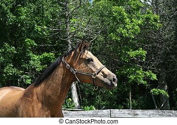 vacker, stående, häst, hjortläder